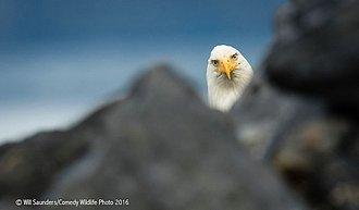 Águila blanca