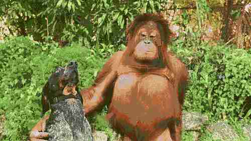 Amistad entre un gorila y un perro