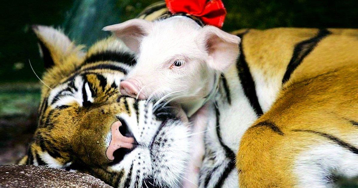 Смешные, открытка моему любимому тигру