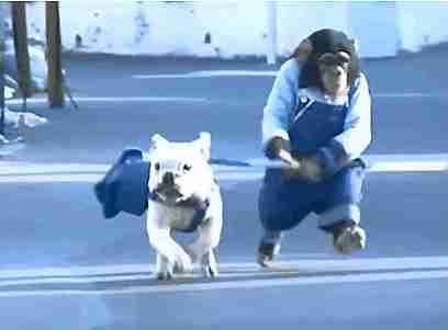 chimpancé paseando un perro