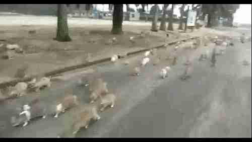 horda de conejos