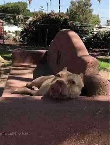 perro pit bull