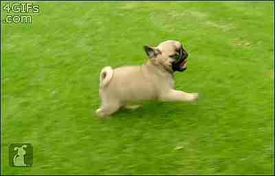 Perros pug corriendo