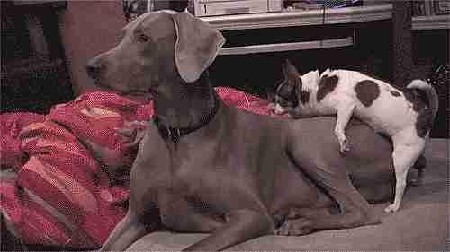 chihuahua y perro grande