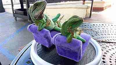 Iguanas relajadas