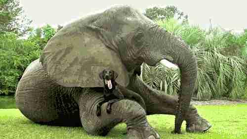 Amistad entre un elefante y un perro