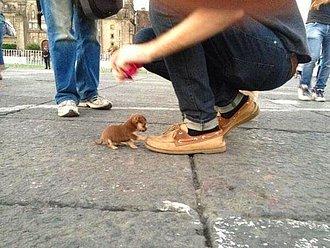 perro diminuto