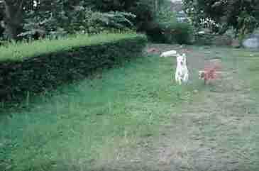 perros saltan arbusto