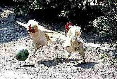 Gallos jugando fútbol